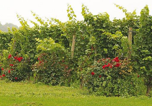 růže ve vinohradu