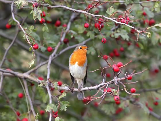 hloh je ideálním keřem pro ptáky
