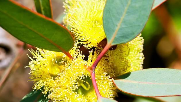 Kvetoucí eukalyptus.
