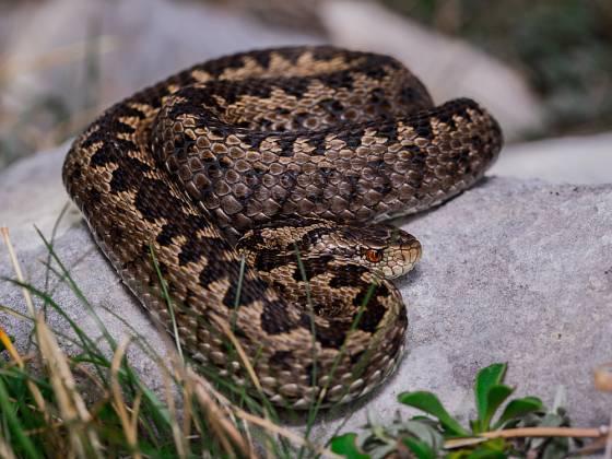 Hadi s rádi vyhřívají na slunci na prohřátých kamenech.