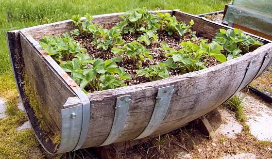 Velmi netradiční způsob pěstování jahodníků v rozpůleném dřevěné sudu.