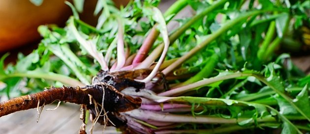 Kořen pampelišky ozdravuje játra a podporuje metabolismus