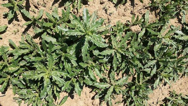 mladé rostliny pcháče rolního (Cirsium arvense)