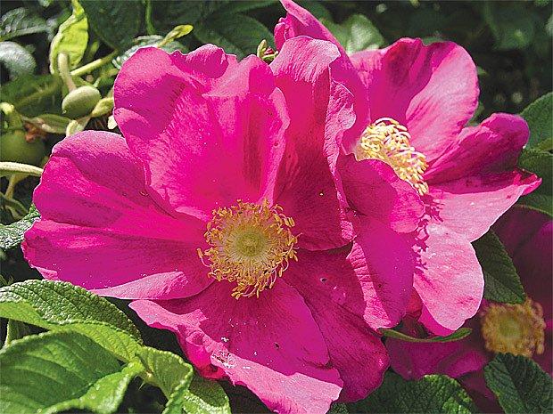 Růže svraskalá (Rosa rugosa)