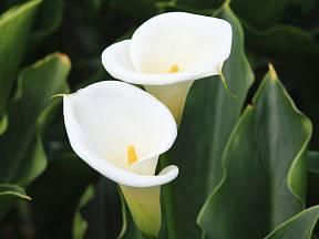 Kala, kornoutice nebo kornoutovka, to jsou všechno české názvy této nádherné květiny