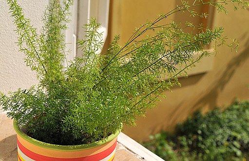 chřest hustokvětý (Asparagus densiflorus Sprengeri)