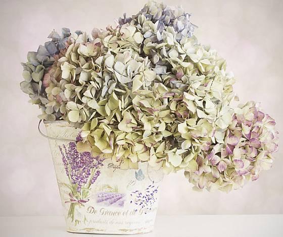 sušené květenství hortenzie