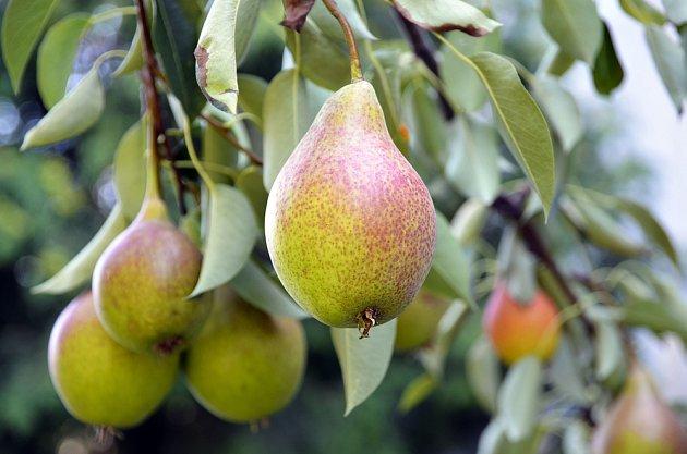 Zrají hrušky, lahodné a zdravé domácí ovoce