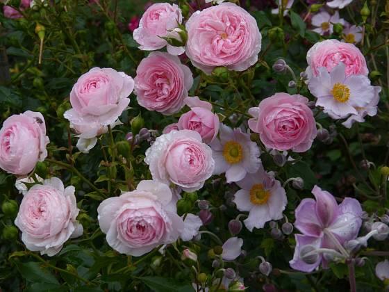 Mnohokvětá růže Larissa se skvěle doplňuje s japonskými sasankami, protože i jim vyhovuje polostinné stanoviště