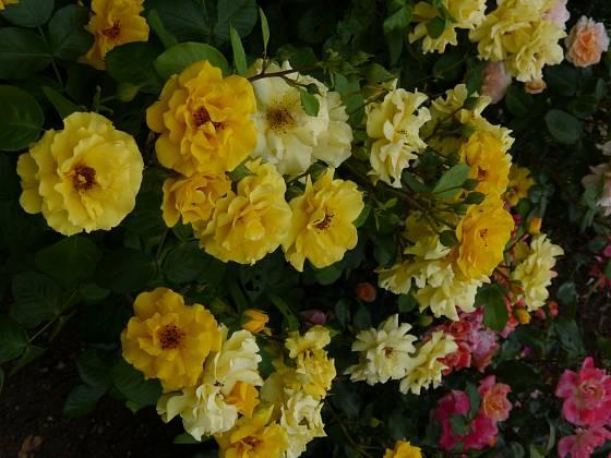 Růže odrůdy Sunshine