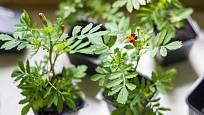 Sazenice aksamitníku (Tagetes)
