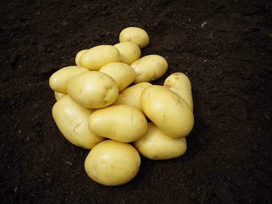 Odrůda brambor Belana