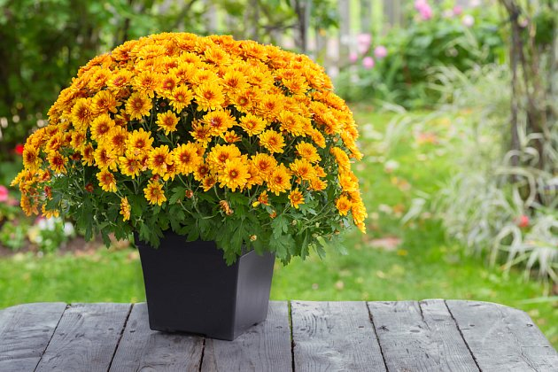 Chryzantémy potěší na záhonech i v nádobách