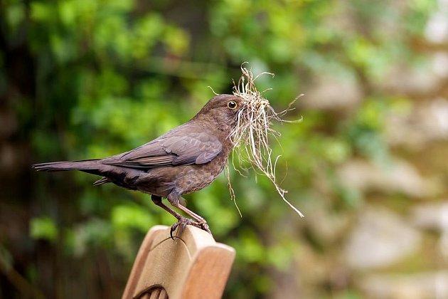 Samička kosa sbírá materiál na výstelku hnízda