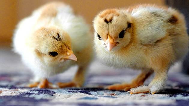 e46df888a7c Líheň pro kuřata  Jak postupovat při domácím odchovu  - Hospodářská zvířata