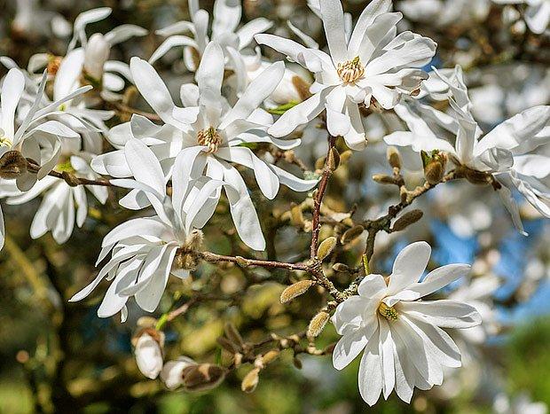 Magnolia stellata je zjara obsypaná bílými květy