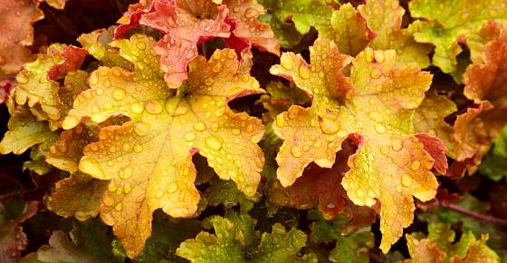 Dlužicha (Heuchera), odrůda Marmalade s podzimními barvami