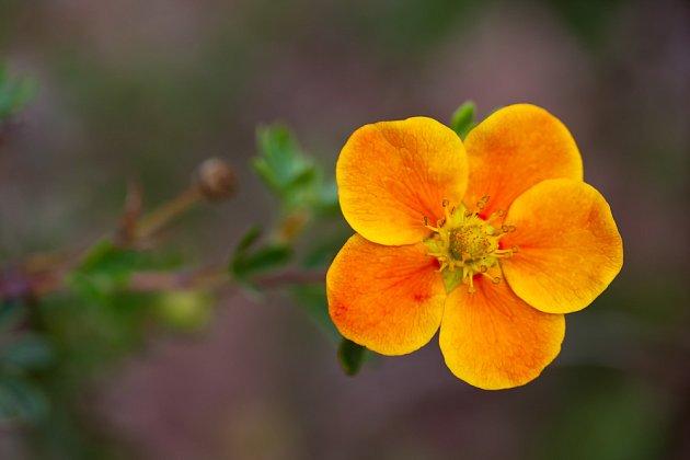 Oranžově kvetoucí odrůda mochny křovité.