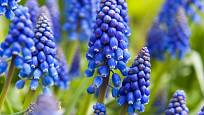Modřenec ( Muscari aucheri 'Blue Magic')