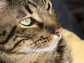 Ocicat, nové krásné plemeno: kočka se skvrnitou srstí a skvělou povahou.