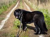 Moskevský vodní pes byl šlechtěn speciálně pro ruské námořnictvo.