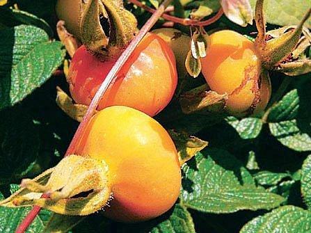 růže svraskalá - plody