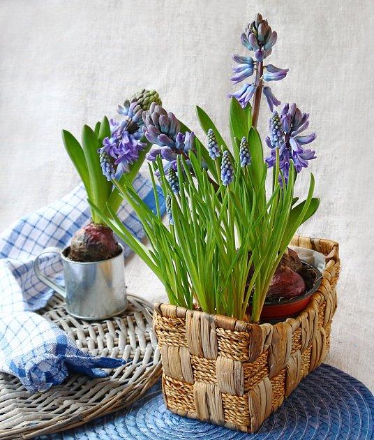 Hyacint se hodí i dovnitř do bytu.