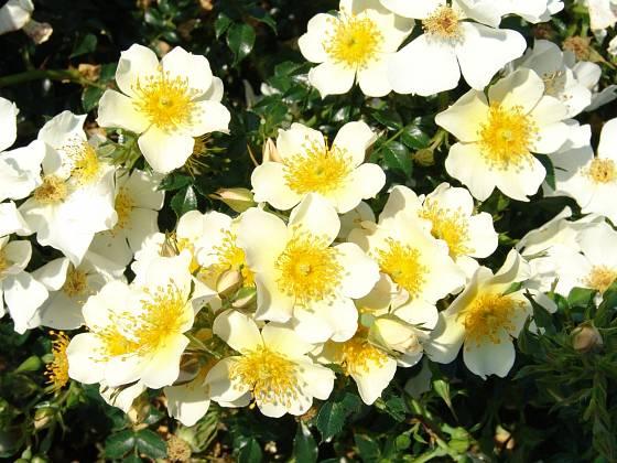 Růže odrůdy Sonnenroschen