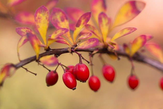 Dekorativní jsou plody i listy