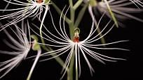Miniaturní orchidej Habenaria myriotricha