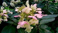 Hydrangea heteromalla - hortenzie kosmatá