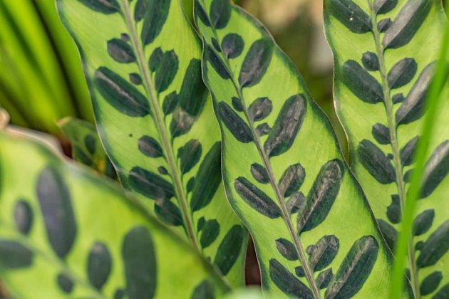 Kalátea kopitanaá (Calathea lancifolia)