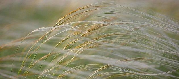 kavyl vláskovitý (Stipa capillata)