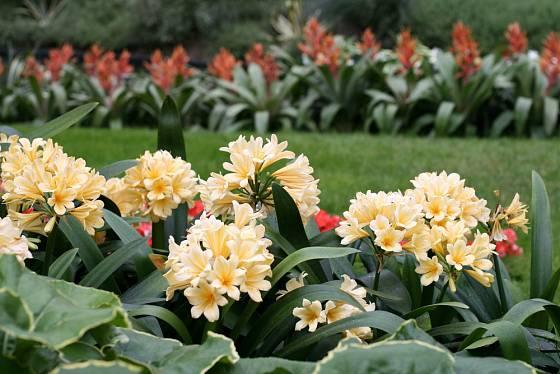 Klívie neboli řemenatka je původem z jižní Afriky.