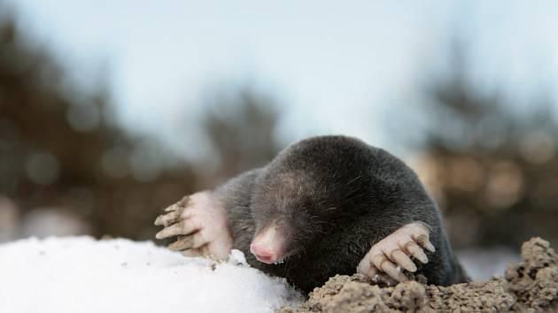 Krtci ve svých aktivitách neustávají ani v zimních měsících.
