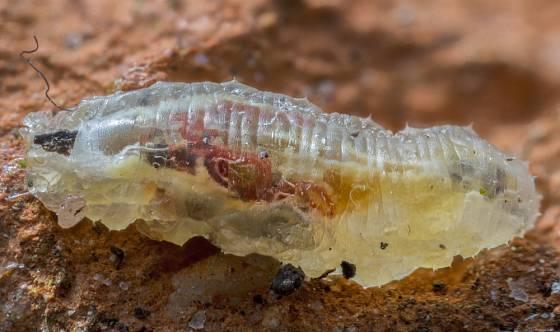 Larvy pestřenek zkonzumují stovky mšic, nežli se z nich stanou dospělci