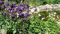 Orlíčky a sasanky u zahradního jezírka.