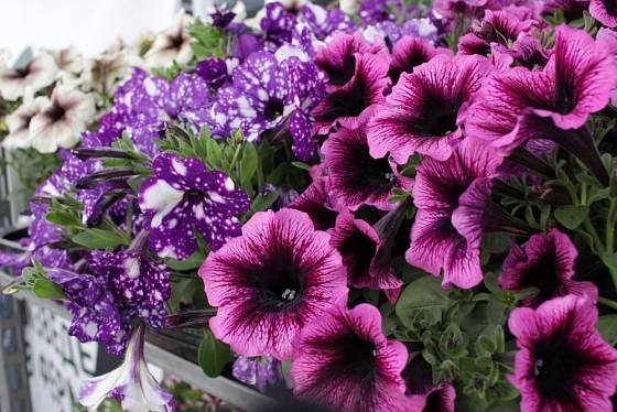 Petúnie patří mezi nejvděčnější balkónové květiny