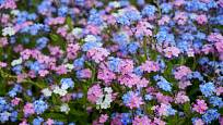 Pomněnky kvetou modře, bíle i růžově.