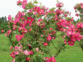Nedočkavě vyhlížíme první jarní květy a o trochu později také první květy růží