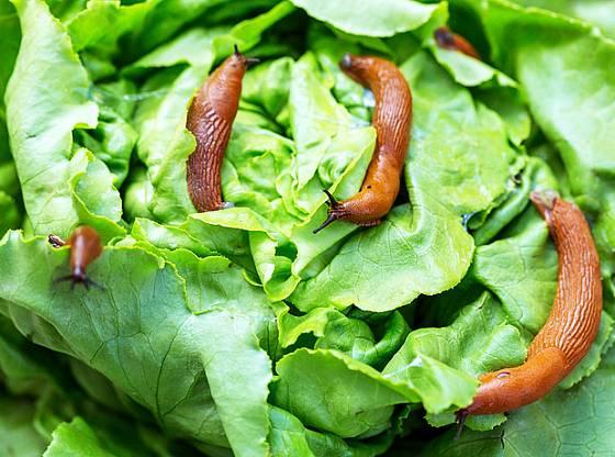 Salát patří mezi oblíbenou potravu plzáka