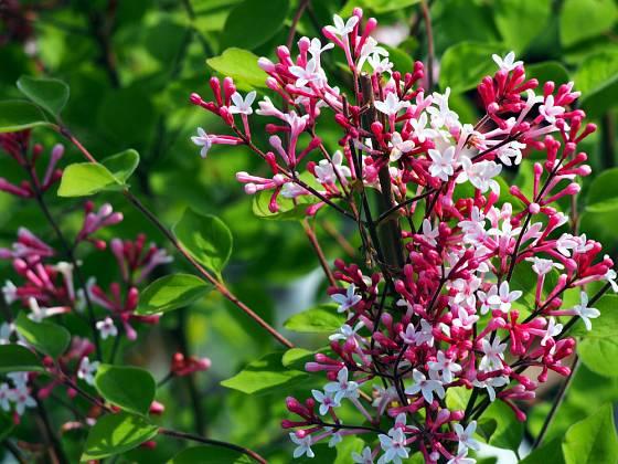Šeřík malolistý (Syringa microphylla), odrůda Superba