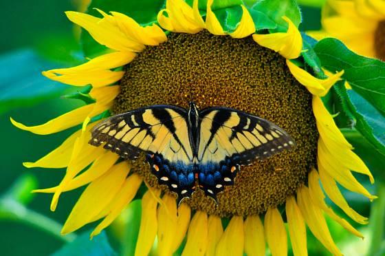 Slunečnice přilákala vzácného otakárka ovocného
