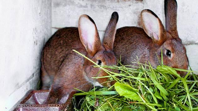 vídeňský králík