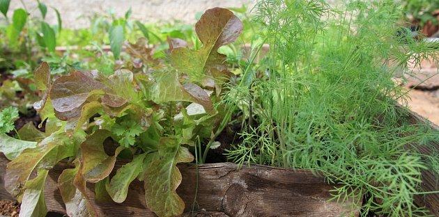 Kopr může pohým sousedstvím vylepšit chuť salátu, nejen ho chránit