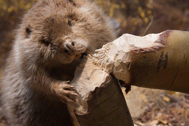 bobr je zručný dřevorubec