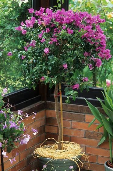 Buganvileu lze pěstovat jako liánu i ve formě stromku, který se přemisťuje snáze