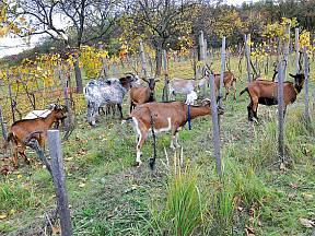 Stádo koz ve vinicích se pase před pučením a po sklizni