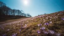 Kvetoucí šafrány na jaře připomínají fialové moře.