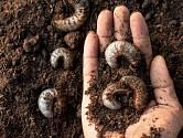 Larvy lalokonosců objevíme v substrátu nebo kompostu